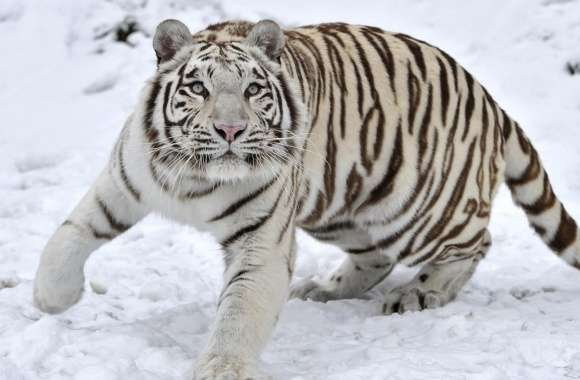 White Tiger On Snow Winter