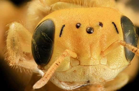 Yellow Bee Head Macro