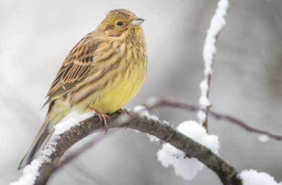 Yellowhammer In A Snowfall