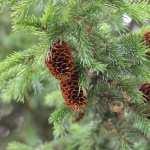 Pine Tree pics