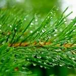 Pine Tree 2017