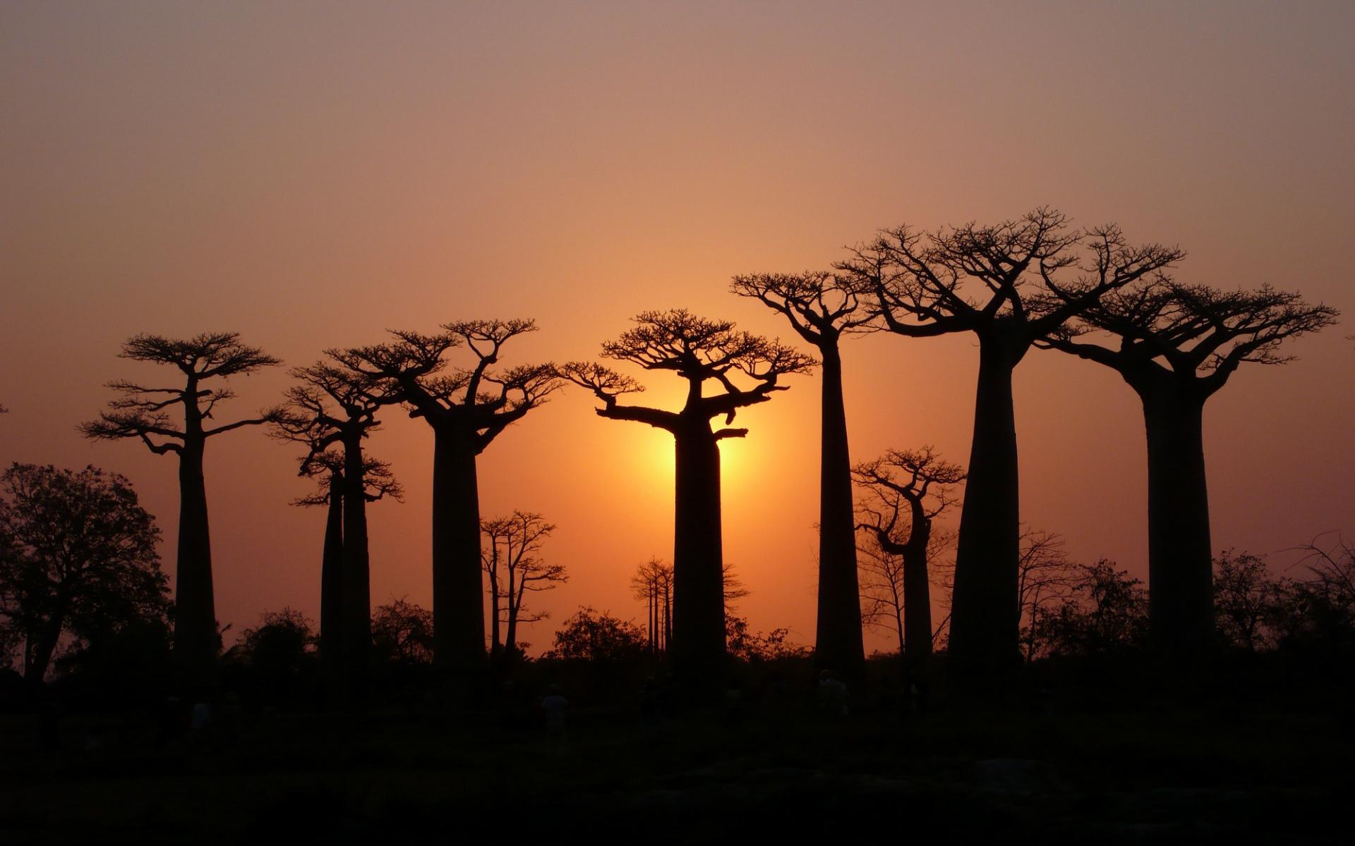 Baobab Tree wallpapers HD quality