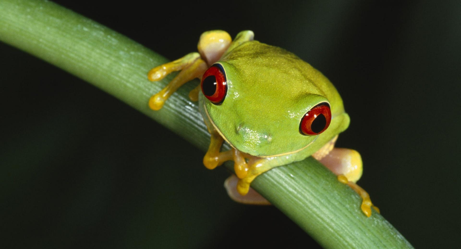 Colorful Tree Frog wallpapers HD quality