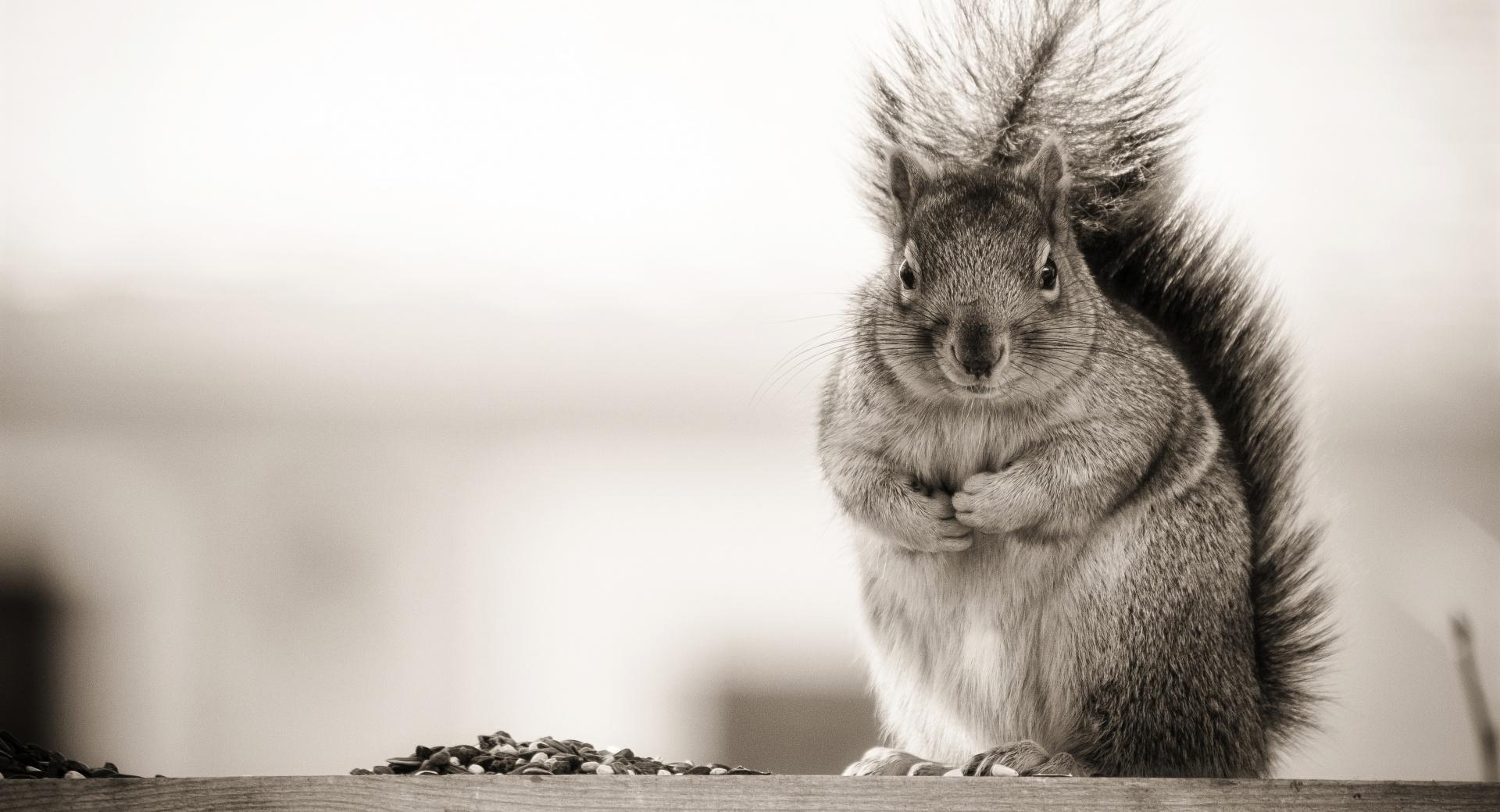 Fat Squirrel wallpapers HD quality