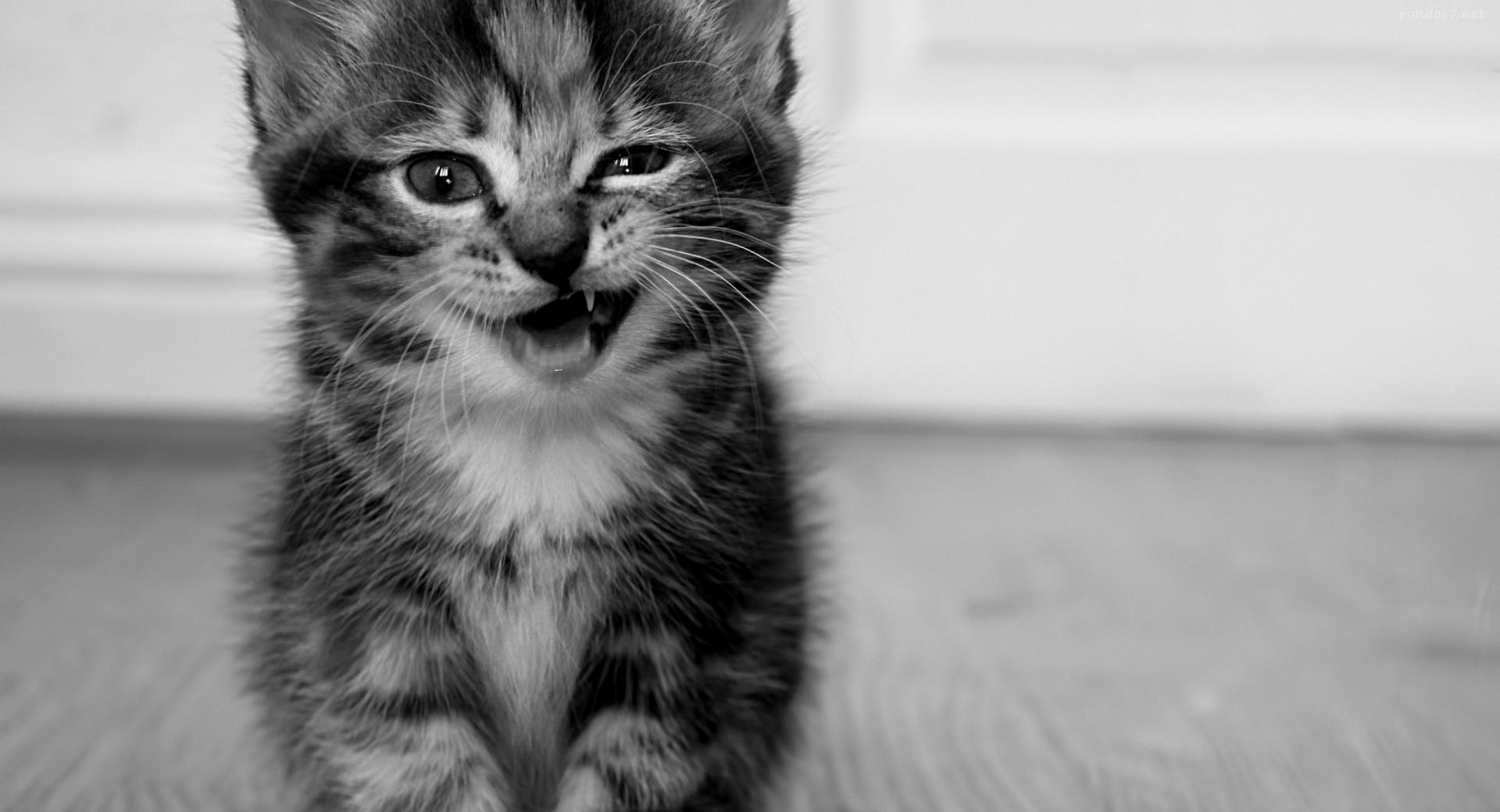 Funny Kitten wallpapers HD quality