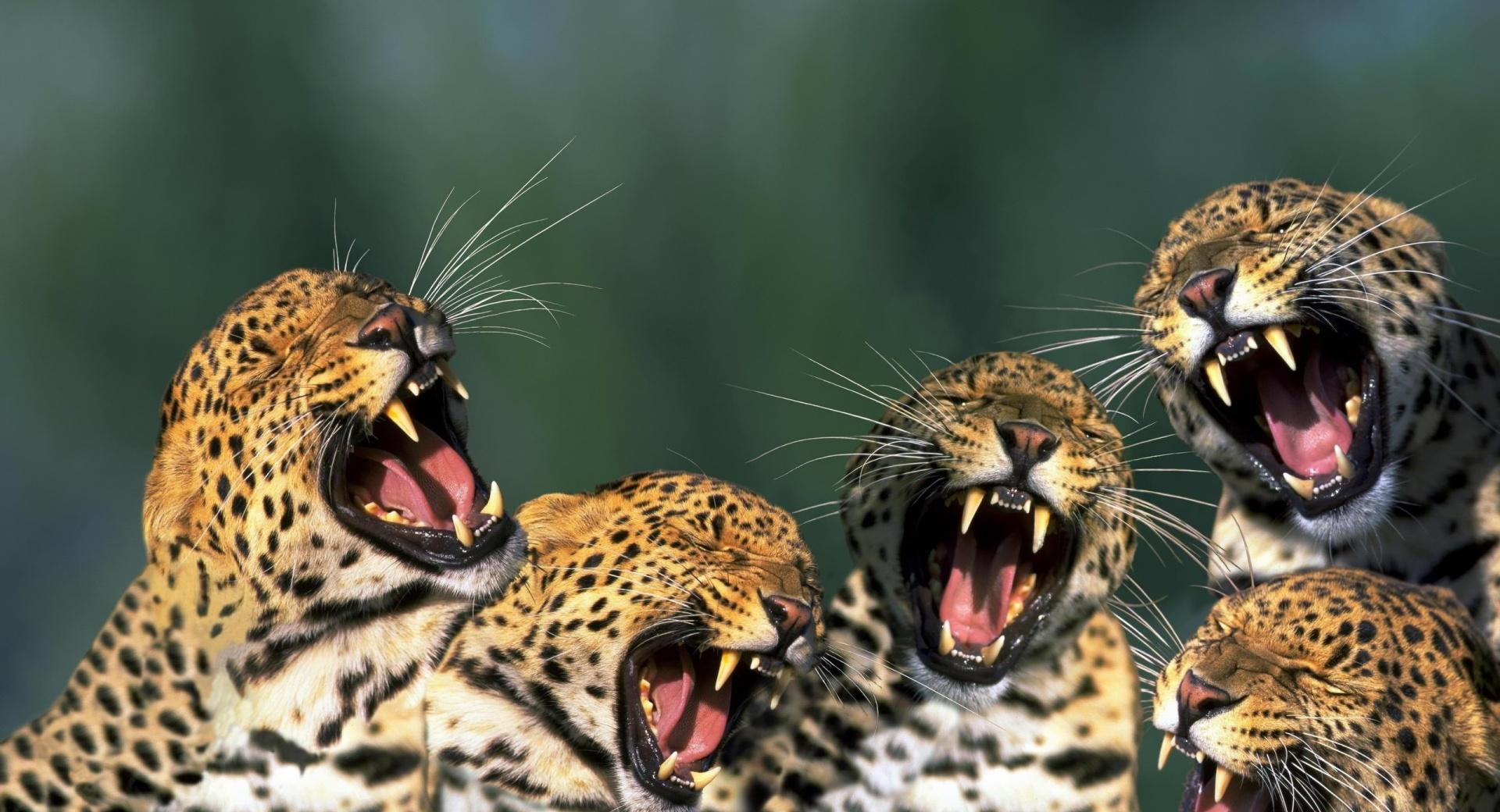 Funny Leopards wallpapers HD quality