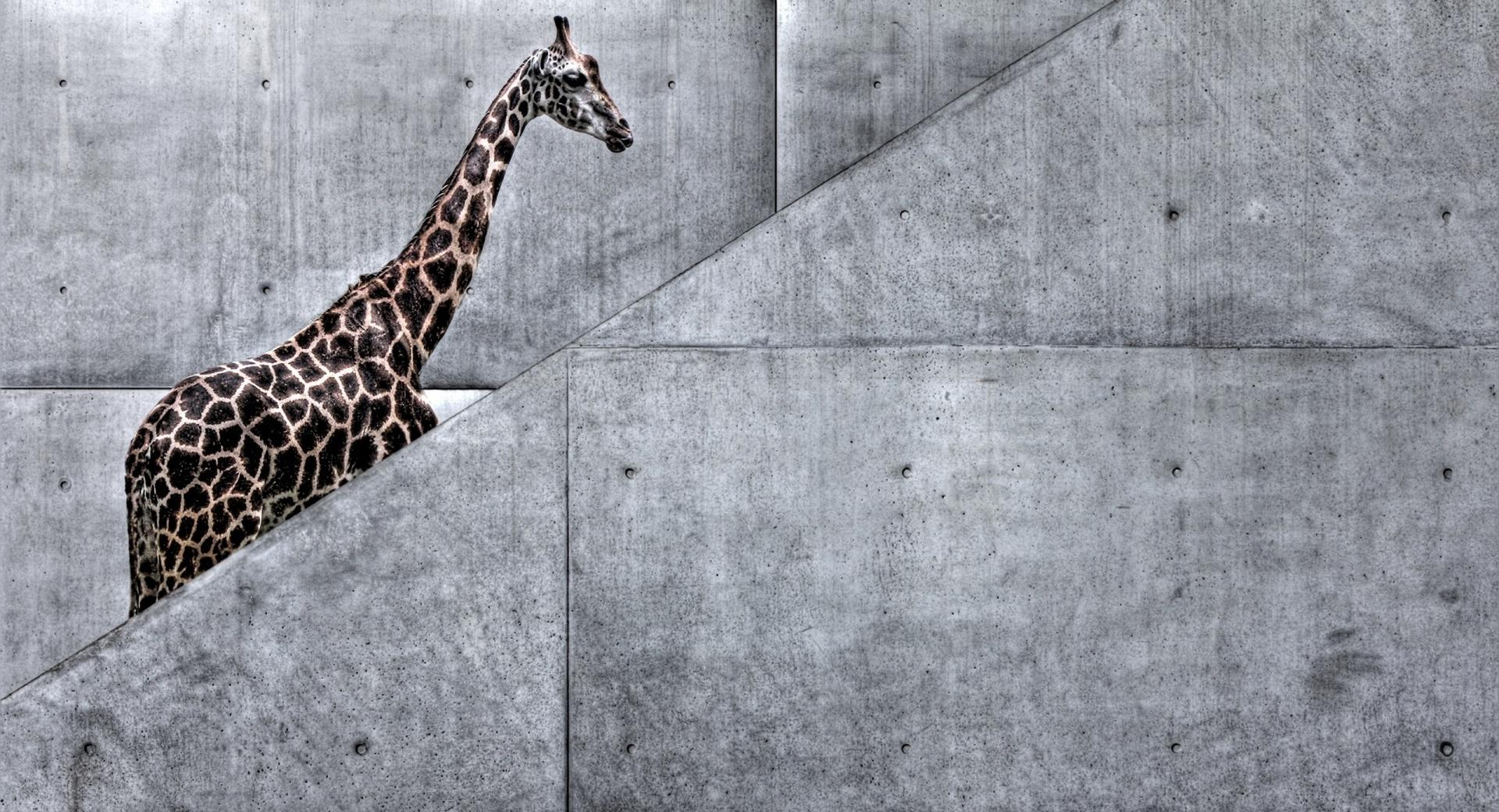 Giraffe Climbing Stairs at 1024 x 1024 iPad size wallpapers HD quality