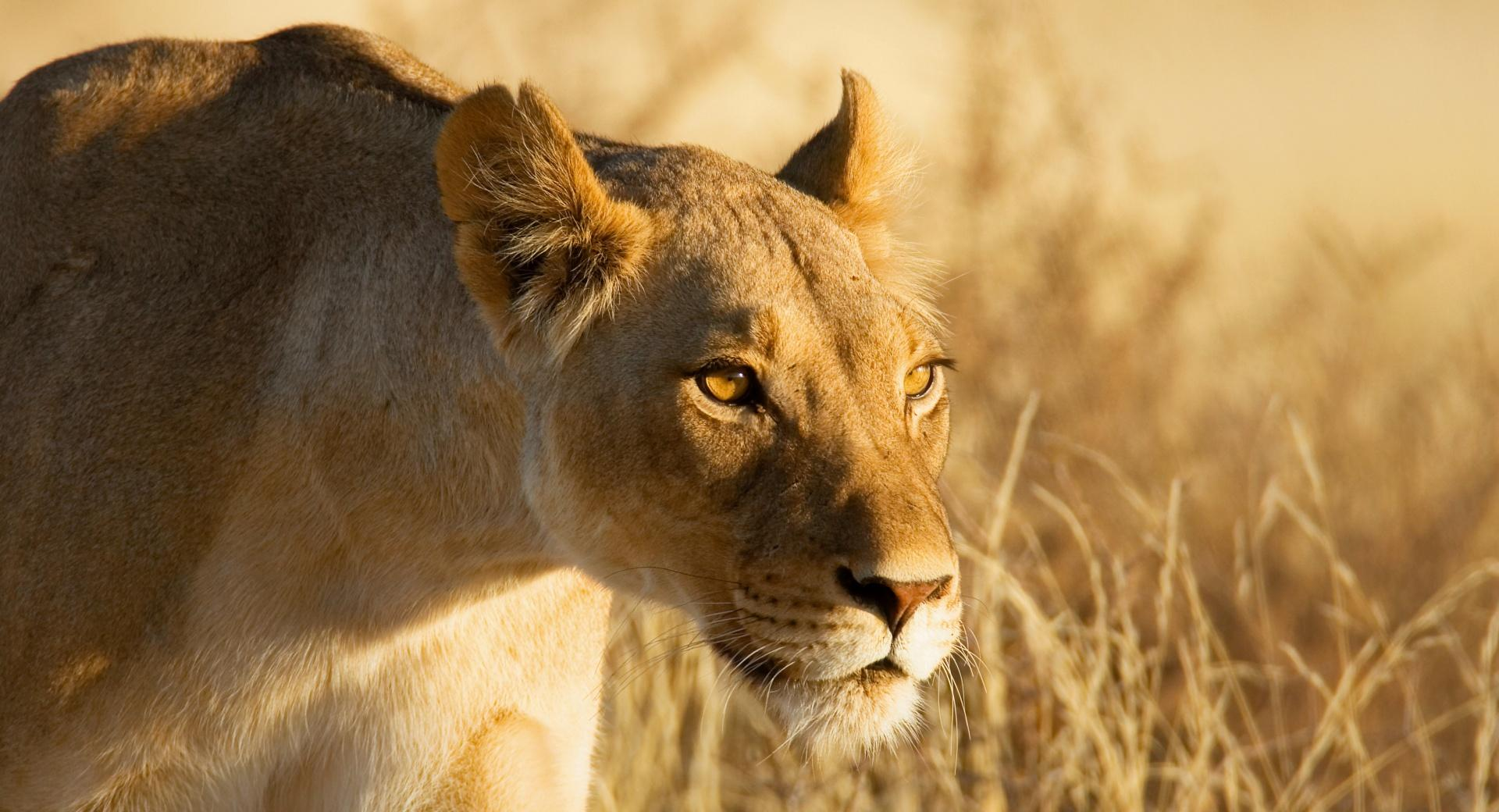 Hunting Lioness wallpapers HD quality
