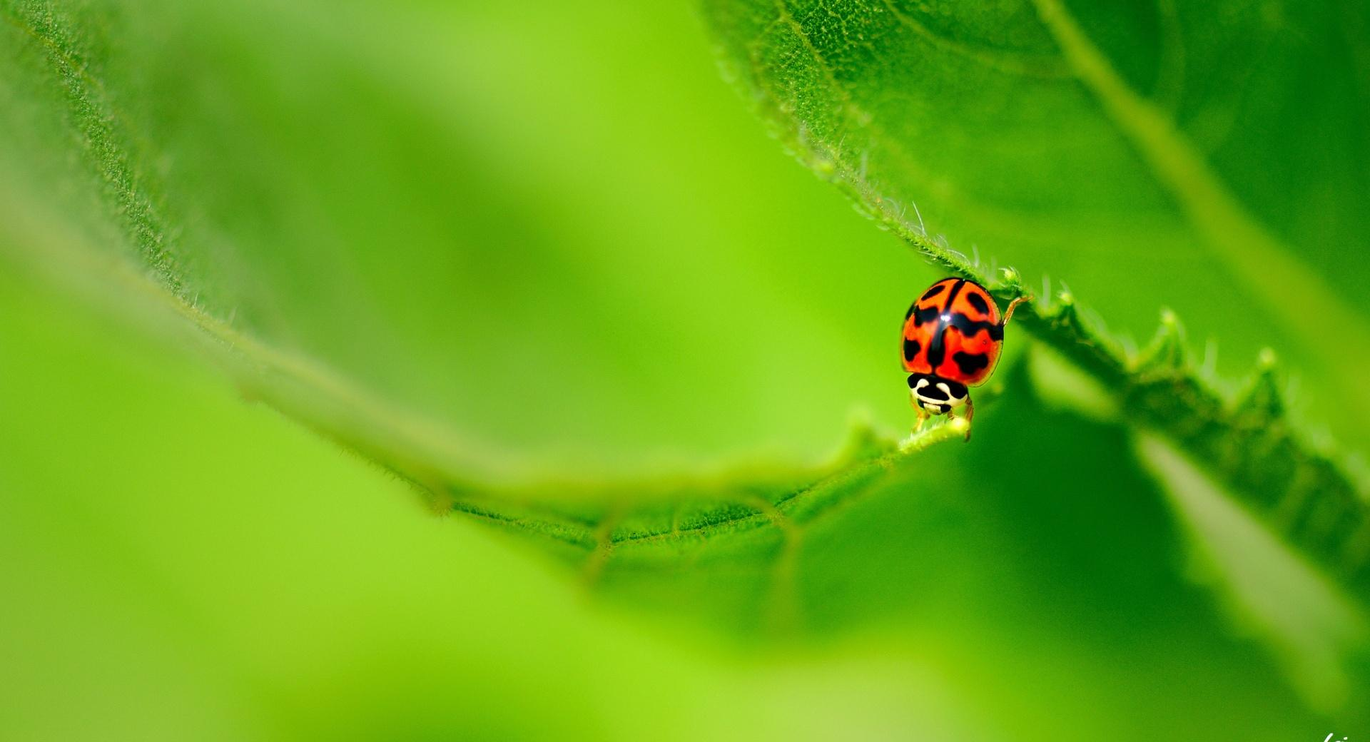 Ladybug On A Green Leaf wallpapers HD quality