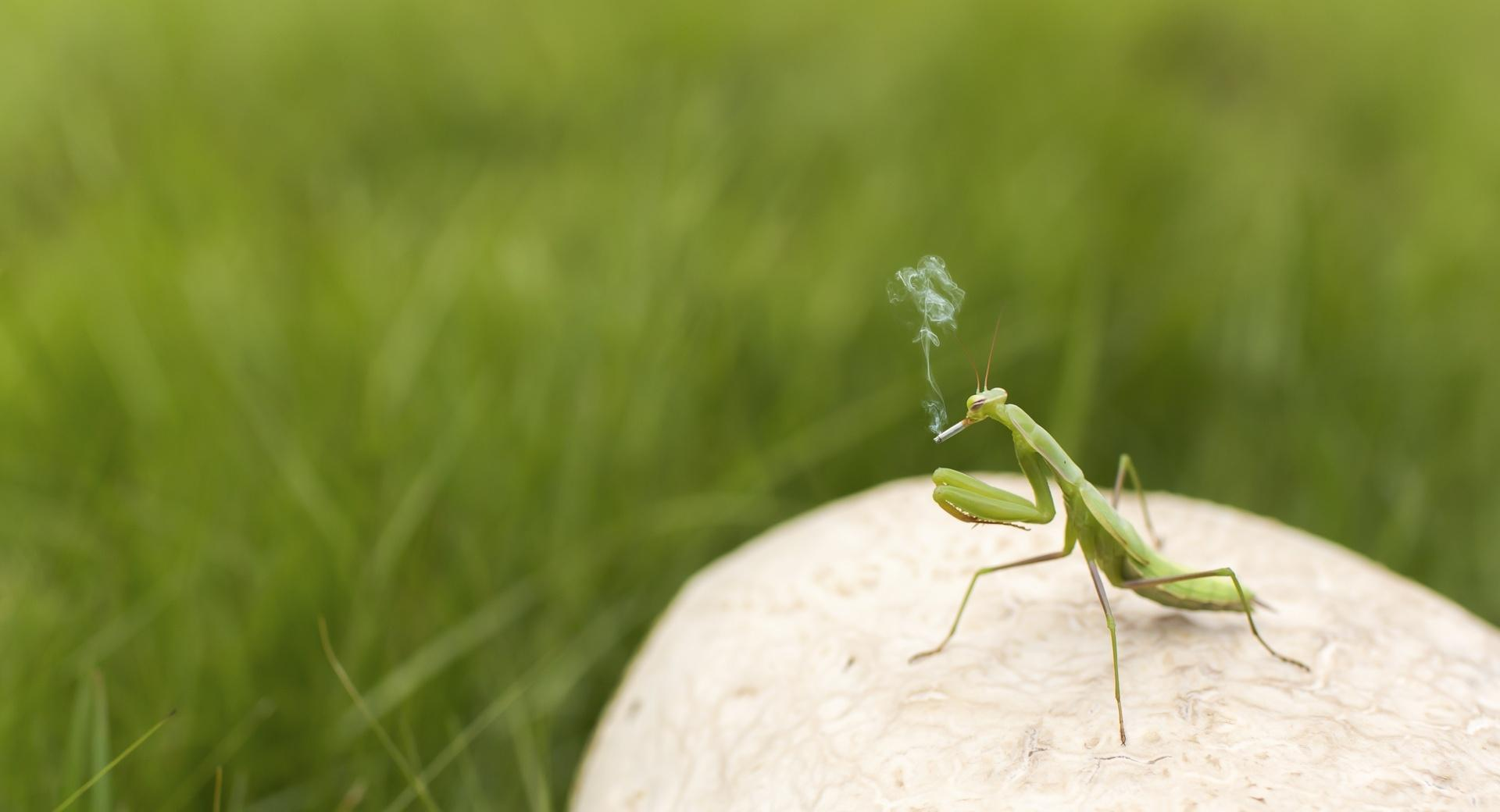 Mantis Smoking wallpapers HD quality