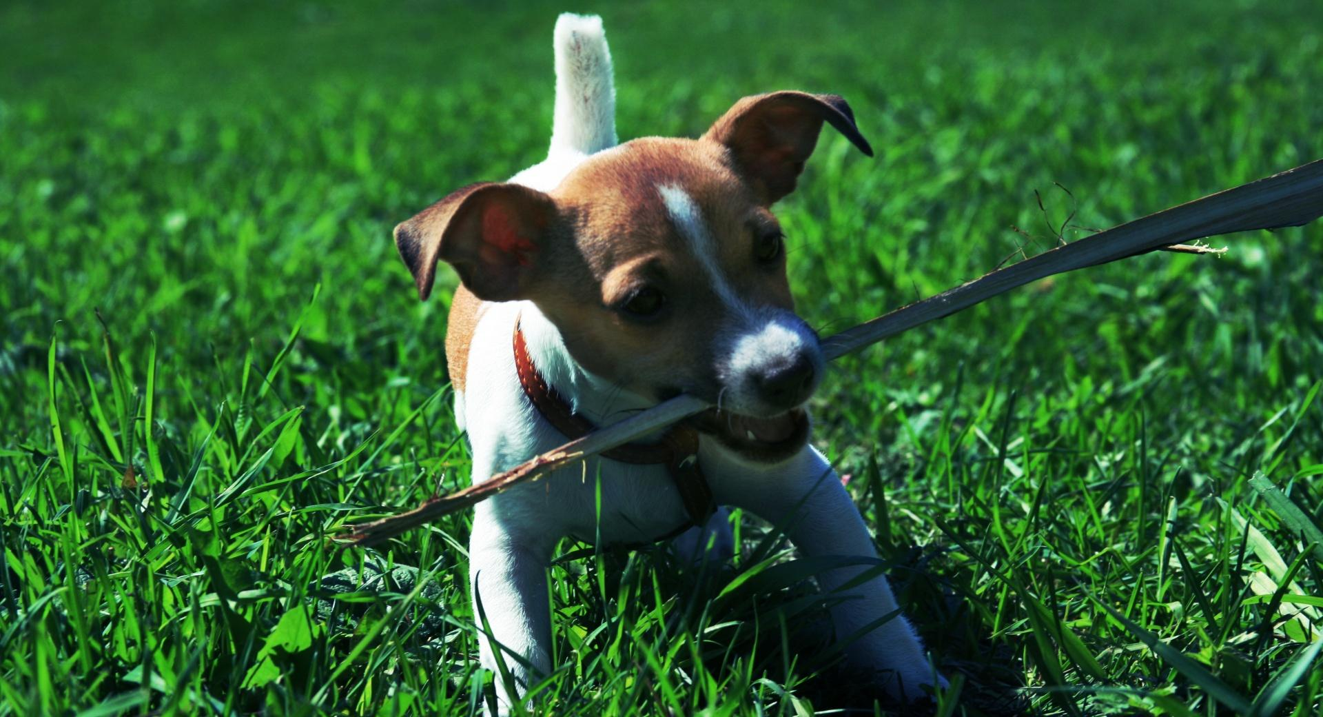 Playful Jack Russell Puppy wallpapers HD quality