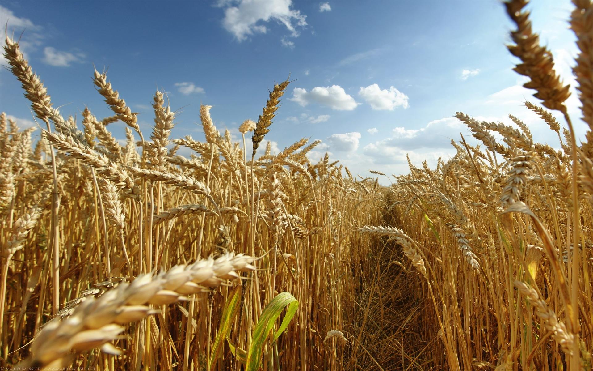 Wheat wallpapers HD quality