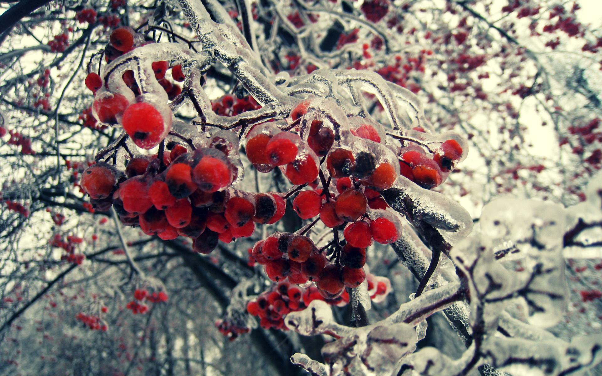 природа мороз рябина зима ветки еда ягоды  № 457160 бесплатно