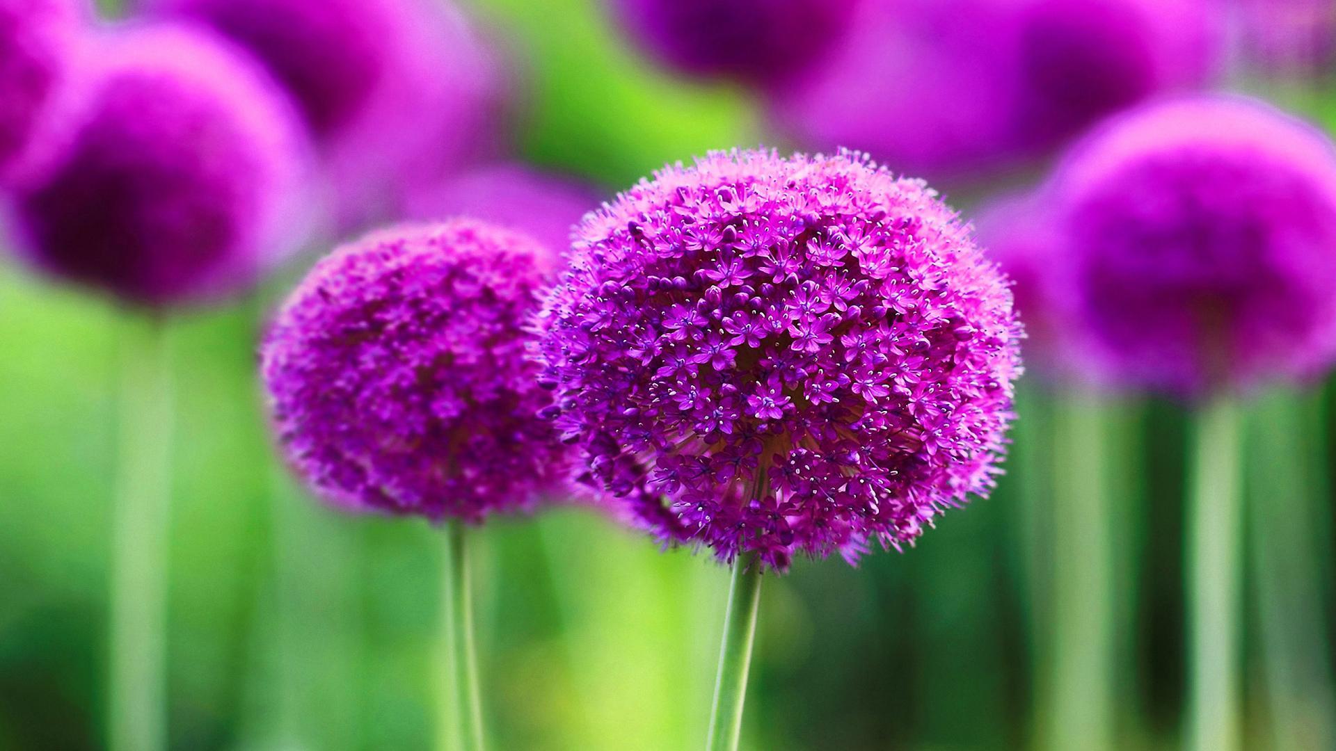 розово-фиолетовая поляна бесплатно