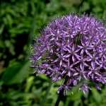 Allium free wallpapers