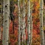 Birch free