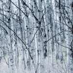 Birch wallpapers