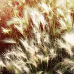 Wheat full hd