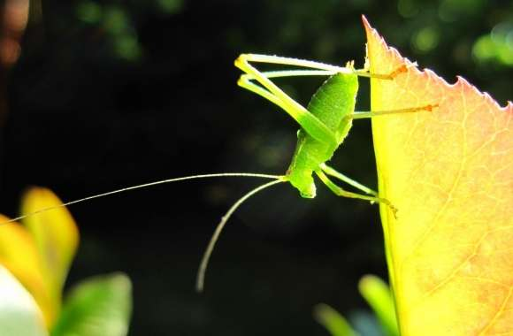 A Small Green Grasshopper wallpapers hd quality