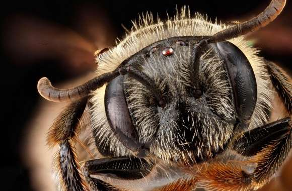 Andrena Fragilis Bee Head Macro