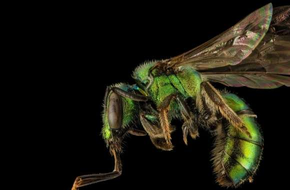 Augochlora Pura Sweat Bee Macro