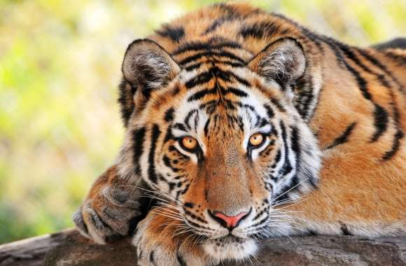Beautiful Young Tiger