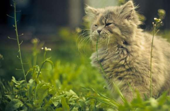 Cat Eating Grass wallpapers hd quality