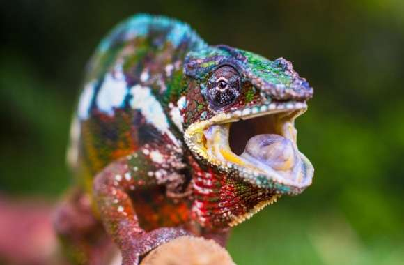 Chameleon Tongue