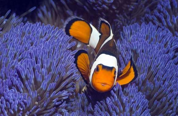 Clown Anemonefish West Papua Indonesia