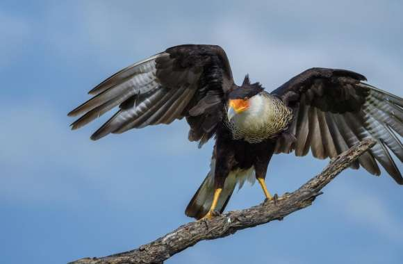Crested Caracara Bird, Texas