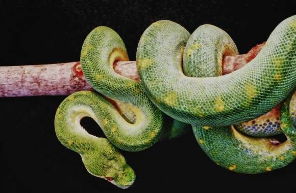 Green Boa Constrictor wallpapers hd quality
