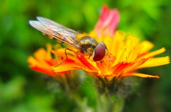 Hoverfly On A Orange Flower wallpapers hd quality
