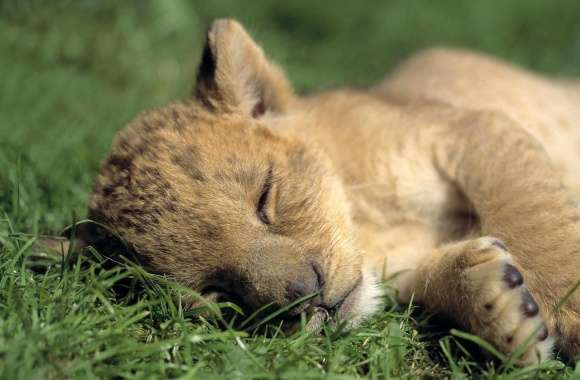 Lion Young Sleeping