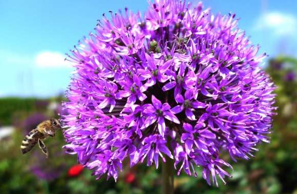 Purple Onion Flower