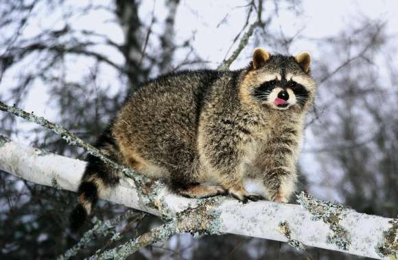 Raccoon On A Tree Branch