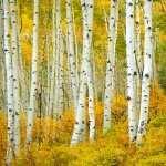 Birch wallpapers for desktop