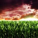 Cornfield hd wallpaper