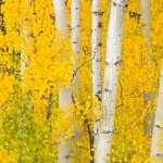 Birch high definition photo