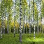 Birch pic