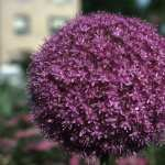Allium widescreen