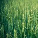Wheat new wallpapers