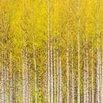 Birch widescreen