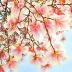 Magnolia free download