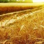 Wheat hd photos