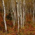 Birch pics
