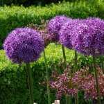 Allium full hd