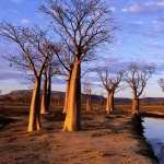 Baobab Tree new wallpapers