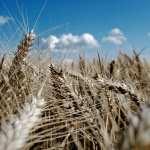 Wheat 2017