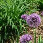 Allium pic