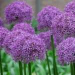 Allium new wallpapers